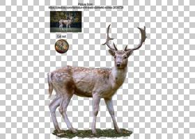 狍鹿茸,驯鹿PNG剪贴画哺乳动物,动物群,野生动物,陆生动物,卡通,