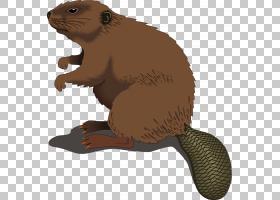 海狸,剃光海狸的PNG剪贴画哺乳动物,食肉动物,动物群,陆地动物,卡