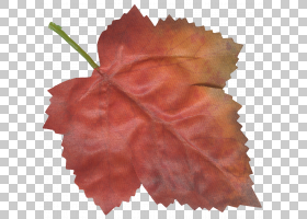 枫叶花瓣,感恩节PNG剪贴画枫叶,叶子,枫叶,花,食品饮料,桃,花瓣,图片