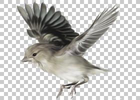 鸟,飞鸟,灰鸟画PNG剪贴画动物,动物群,野生动物,尾巴,羽毛,雀科,