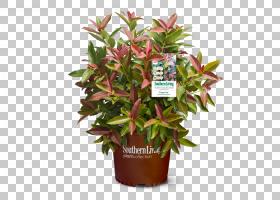荚莲属植物lentago植物灌木切花花盆,植物PNG剪贴画花,切花,荚,糖