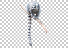 狐猴猴鸟图形设计Lumer PNG clipart哺乳动物,动物,动物群,室内设