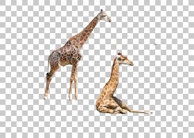 长颈鹿卡通,颈部,长颈鹿,长颈鹿,野生动物,卡通,巨型动物,鹿,动物