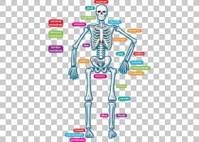 人体骨骼人体解剖学老师,孩子们用彩虹ba装饰黑板星PNG clipart文