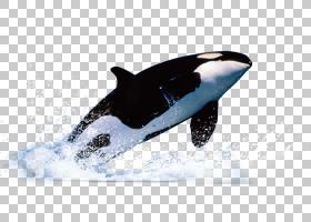 鲸鱼卡通,鳍,杀人鲸,计算机软件,资源,免费,海豚,鲸鱼,