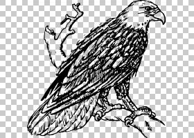 秃鹰白尾鹰绘画鹰PNG剪贴画动物,分支机构,秃头鹰,脊椎动物,动物
