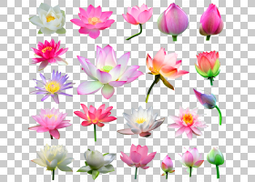 家谱背景,草本植物,花卉,莲花族,植物茎,切花,植物群,神圣莲花,花