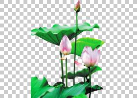 花卉剪贴画背景,芽,植物茎,切花,绿色,植物群,神圣莲花,莲花族,水