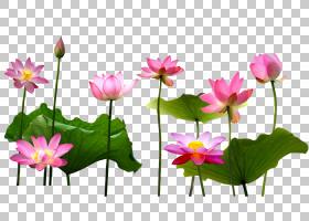 卡通自然背景,花卉,洋红色,植物茎,花卉设计,植物群,神圣莲花,莲