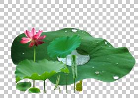 族的图形,一年生植物,绿色,植物群,神圣莲花,莲花族,水生植物,莲