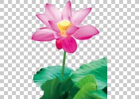 水彩粉红花,草本植物,一年生植物,植物茎,植物群,神圣莲花,莲花族