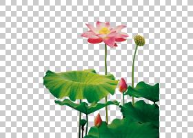 花卉背景,花卉设计,花卉,一年生植物,植物茎,植物群,神圣莲花,莲