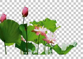 花粉色,花卉,草,一年生植物,野花,植物茎,草本植物,植物群,神圣莲