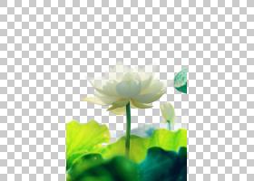 绿叶背景,植物茎,绿色,植物群,神圣莲花,水,莲花族,水生植物,Prot