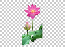 花卉剪贴画背景,花卉,一年生植物,植物茎,切花,植物群,神圣莲花,