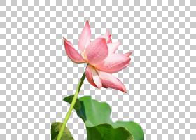 莲花,芽,植物茎,植物群,神圣莲花,莲花族,水生植物,Proteales,花