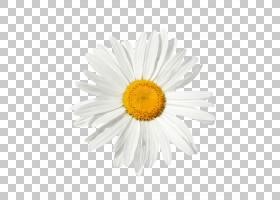 家庭卡通,Chamaemelum Nobile,紫菀,非洲菊,花瓣,黄色,牛眼雏菊,