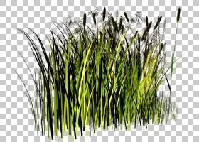 家庭卡通,[医]泽兰草(Chrysopogon Zizanioides),芦苇,商品,甜草,