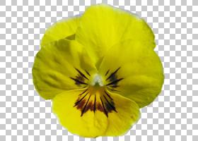家庭卡通,中提琴,黄色,紫罗兰家族,花瓣,花,植物,潘西,