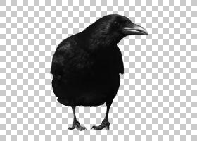 家庭卡通,乌鸦,黑白,鸟,喙,机翼,新喀里多尼亚乌鸦,车,乌鸦如鸟,