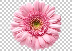 粉红色花卡通,洋红色,非洲菊,一年生植物,切花,玛格丽特黛西,雏菊