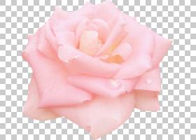 粉红色花卡通,白色,蔷薇,玫瑰秩序,玫瑰家族,桃子,玫瑰,奖牌,花瓣