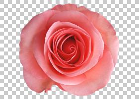 粉红色花卡通,蔷薇,花瓣,切花,关门,玫瑰秩序,玫瑰家族,桃子,中国