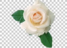 粉红色花卡通,花卉,花束,蔷薇,切花,floribunda,人造花,花瓣,玫瑰
