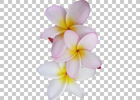 粉红色花卡通,蛾兰,丁香,关门,粉红色,罗布麻科,佛兰尼帕尼,花瓣,