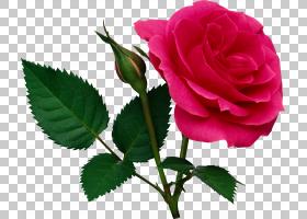 粉红色花卡通,蔷薇,切花,floribunda,植物茎,花瓣,玫瑰秩序,玫瑰