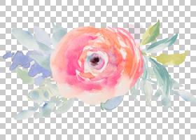 粉红色花卡通,金鱼,玫瑰,关门,花园玫瑰,鱼,花瓣,玫瑰家族,玫瑰秩