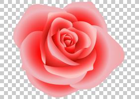 粉红色花卡通,红色,洋红色,情人节,蔷薇,花瓣,关门,玫瑰秩序,玫瑰