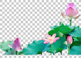 粉红色花卡通,草本植物,一年生植物,植物茎,植物群,神圣莲花,莲花