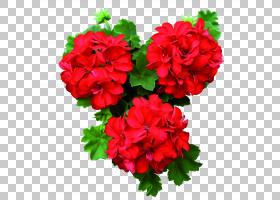 粉红色花卡通,草本植物,天竺葵科,粉红色家庭,一年生植物,Gerania
