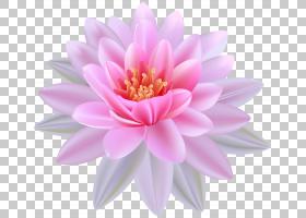 粉红色花卡通,花卉,洋红色,大丽花,水生植物,雏菊家庭,花瓣,植物,