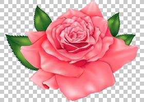 粉红色花卡通,花卉,粉红色家庭,蔷薇,切花,floribunda,日本山茶,