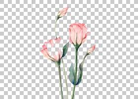水彩粉红花,芽,粉红色家庭,植物茎,切花,静物摄影,郁金香,水彩画,