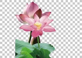 水彩花卉背景,植物茎,植物群,神圣莲花,莲花族,水生植物,Proteale