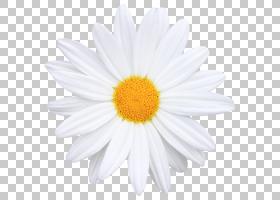 海报背景,非洲菊,白色,黛西,雏菊家庭,玛格丽特黛西,黄色,紫菀,花