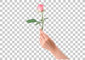 粉红色花卡通,芽,植物茎,切花,手指,花园玫瑰,花瓣,玫瑰家族,玫瑰