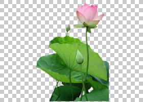 粉红色花卡通,芽,花卉设计,草,植物茎,绿色,神圣莲花,莲花族,水生