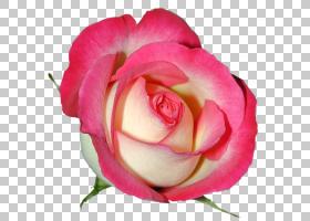 粉红色花卡通,蔷薇,关门,玫瑰秩序,玫瑰家族,桃子,中国玫瑰,植物,