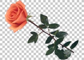 粉红色花卡通,蔷薇,花盆,玫瑰秩序,玫瑰家族,玫瑰,叶,植物茎,花园