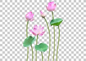 粉红色花卡通,Proteales,一年生植物,野花,莲花族,水生植物,神圣
