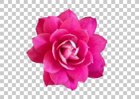 粉红色花卡通,中国玫瑰,山茶花,粉红色家庭,植物,蔷薇,玫瑰秩序,