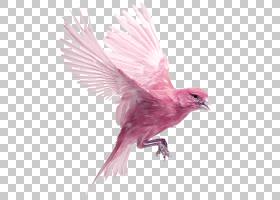卡通鸟,机翼,羽毛,喙,粉红色,家养金丝雀,大西洋金丝雀,欧洲金翅