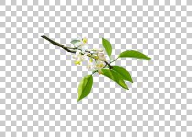 柠檬叶,细枝,树,开花,叶,植物,图表,花束,抗坏血酸,黄色,植物茎,