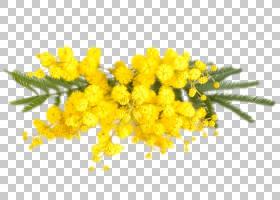 含羞草花,分支,黄色,芥末,花,含羞草,肥皂,绝对,淋浴胶,香气化合