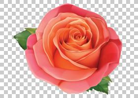 粉红色花卉背景,红色,花卉,橙色,切花,floribunda,蔷薇,玫瑰秩序,