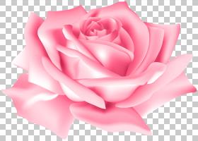 蓝色水彩花,花卉设计,洋红色,蔷薇,花瓣,切花,关门,玫瑰秩序,玫瑰